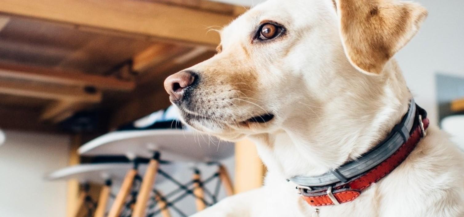 Pies ze złamanymi kośćmi podudzia