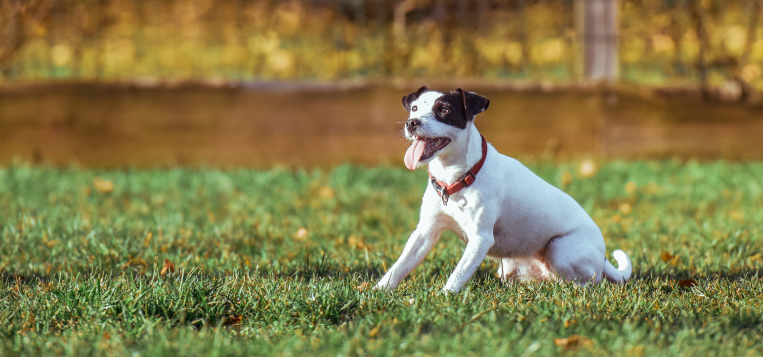 Zerwanie więzadła krzyżowego w kolanie u psa
