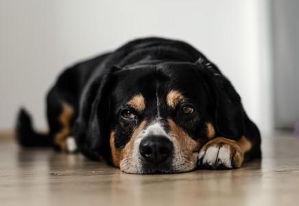 Choroby zakaźne u psów