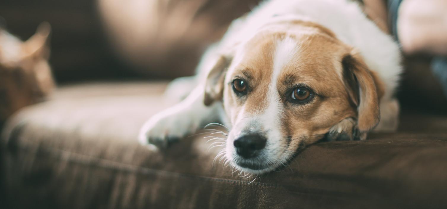 Parwowiroza u psów – groźne choroby u zwierząt