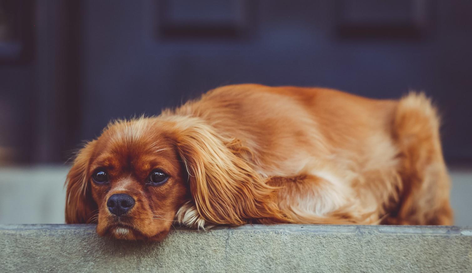 Usunięcie kamieni z pęcherza moczowego u psa