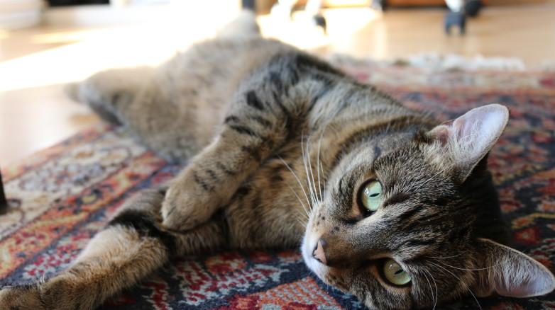 Usunięcie macicy u kota