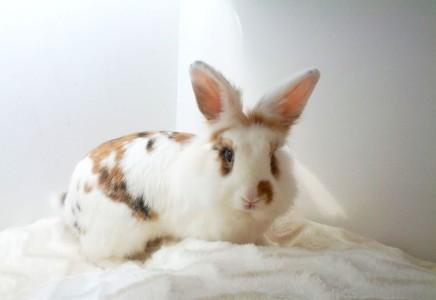 Adopcja królika – Stowarzyszenie Pomocy Królikom