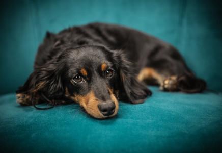Zwyrodnienie stawu palca u psa rasy posokowiec bawarski