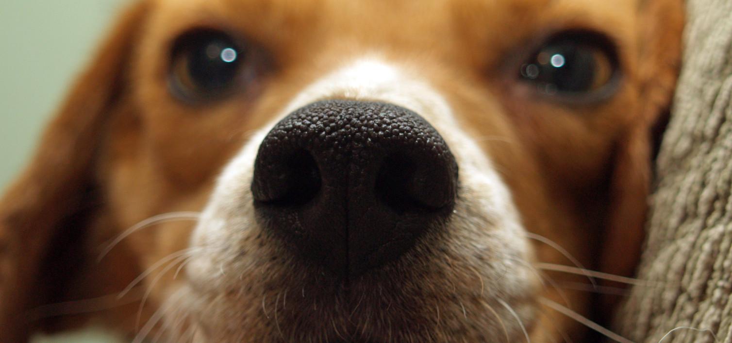 Zerwanie przedniego więzadła krzyżowego u psa rasy beagle