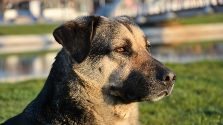 Nowotwór jądra u psa